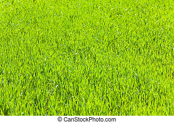 primavera, erba, verde,  (nature,  background)