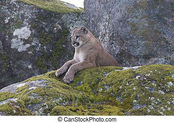 Montaña, león