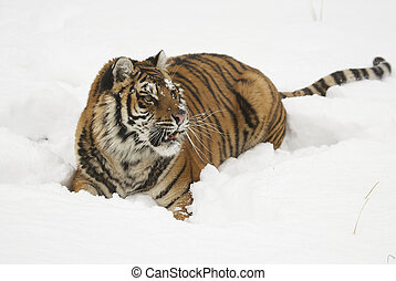 Amur Tiger on white snow during cold winter