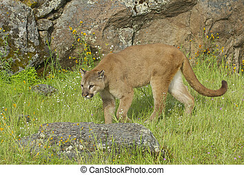 Mountain Lion on green grass with rocks in background during...