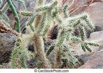 Cholla Cactus growing in Omaha zoo desert