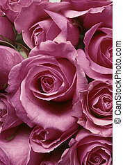 Closeup of pink roses in a tight arrangment BFS20929214