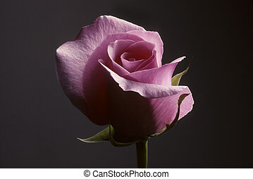 Closeup of pink rose against a gray background - Closeup of...