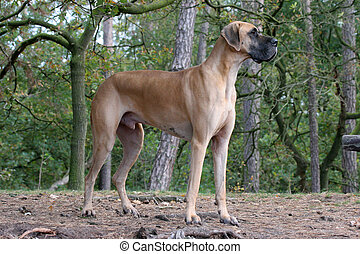 Danish dog
