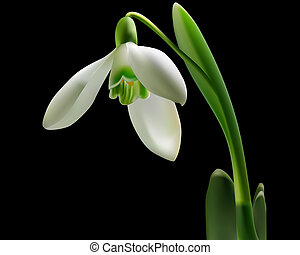 snowdrop with green leaves on a black background