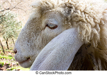 sheep - close up to a female sheep face