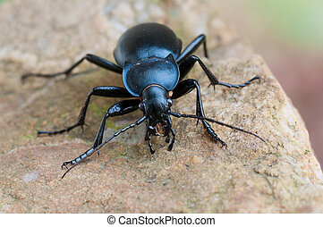 ground beetle carabus glabratus