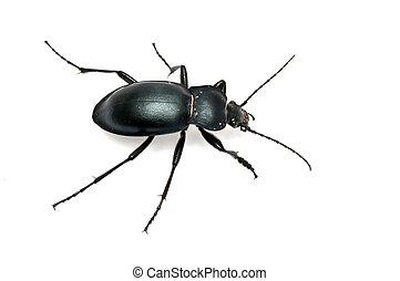 ground beetle carabus glabratus isolated on white ground
