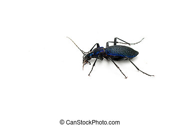 ground beetle - a ground beetle Carabus intricatus isolated...