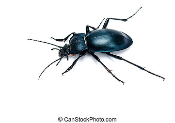 Ground beetle - Carabus glabratus isolated on white...