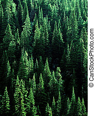 Forest of Green Pine Trees - Forest of green pine trees with...