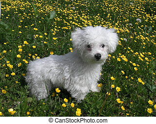 Bichon Frise - a dog posing in the garden