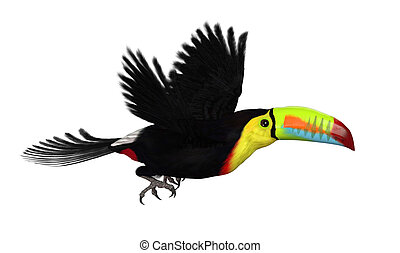 Keel Biled Toucan Flying on White - A Keel Billed Toucan...
