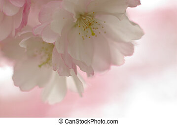 Cherry Blossom - details of cherry blossom in the spring