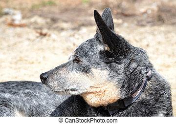 Cattle Dog - australian cattle dog