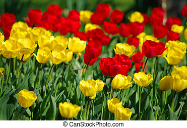 Tulips background with red and yellow ones