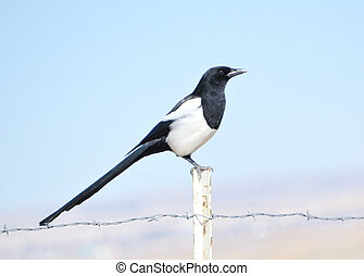 Magpie - A magpie perched on a fence post.