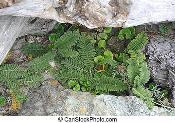 Ferns in Rocks & Driftwood - Ferns in Crevices of Rocks &...