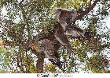 Koala - A Koala resting in a eucalyptus tree in south...