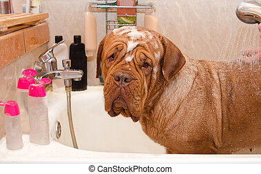 Cleaning the Dog of Dogue De Bordeax Breed in bath. Close-up...