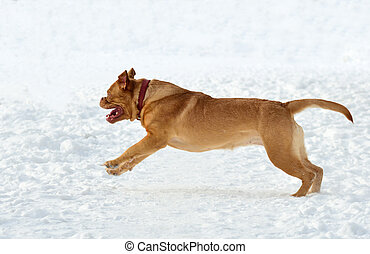 Happy dog of Dogue De Bordeaux Breed running in snow - Happy...