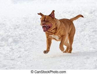 Dog of French Mastiff breed running towards the viewer in...