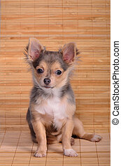 Chihuahua puppy sitting against wooden planks background