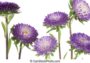 china aster - Studio Shot of Blue Colored China Aster...