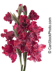 gladiolus - Studio Shot of Red Colored Gladiolus Isolated on...