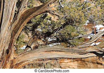 Juniper tree in Zion National Park (Utah, USA)