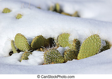 Snow covered cactus (Zion National Park, USA) - Snow covered...