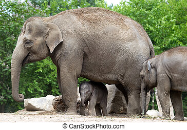 Elephant - Asian elephant with 2 days old baby and 1 1\2...