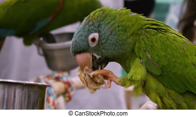 Blue Crown Parrot Eating Bread