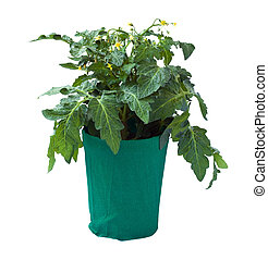 Tomato seedling in a flower pot, isolated on a white...