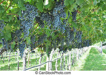 grape merlot - cultivation of red grape merlot