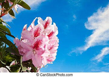 Rhododendron flowers against the blue sky.