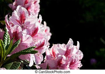 flores, Cor-de-rosa, Rhododendron