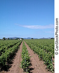 Landscape with vineyards - Country landscape with vineyards...
