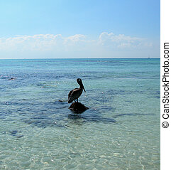 Pelican in the Caribbeans - photo taken in Cancun, Mexico...