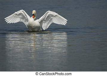 Mute swan on a pond.