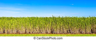 Panorama of sugar cane plantation - Vibrant panorama of...