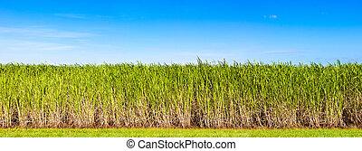 panorama, azúcar, bastón, plantación