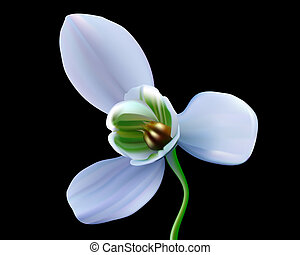 snowdrop flower on a black background