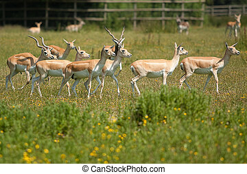 female black buck - group of female black buck in field
