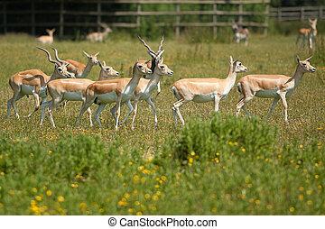 female black buck - group of female black buck in field