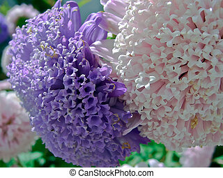 Astra - Callistephus chinensis - Close up of the purple...