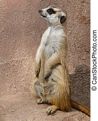 Curious Meerkat - A cute little meerkat stands upright and...