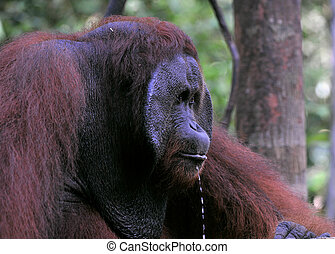 Portrait of the adult male of the orangutan with droplets.