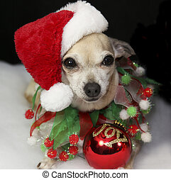 Christmas Dog with Ornament - Cute Christmas Chihuahua...