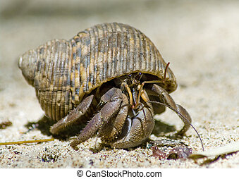 Hermit crab on the sand - Hermit crab in its conch on the...